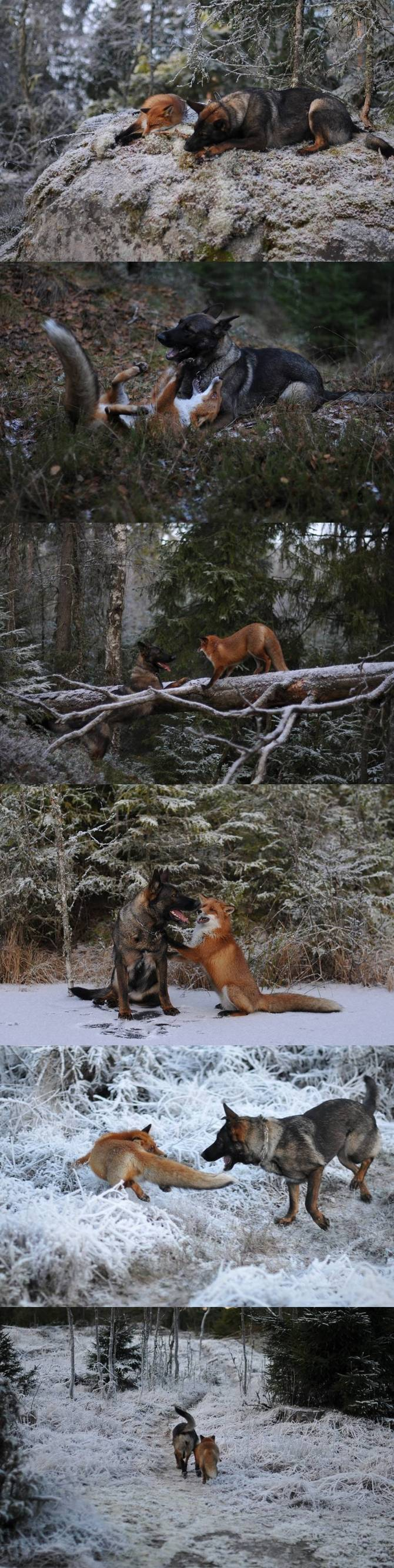 Fox and dog real friends.