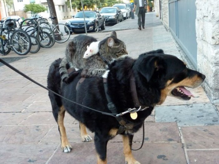 A dog towing a cat, towing a rat no, really