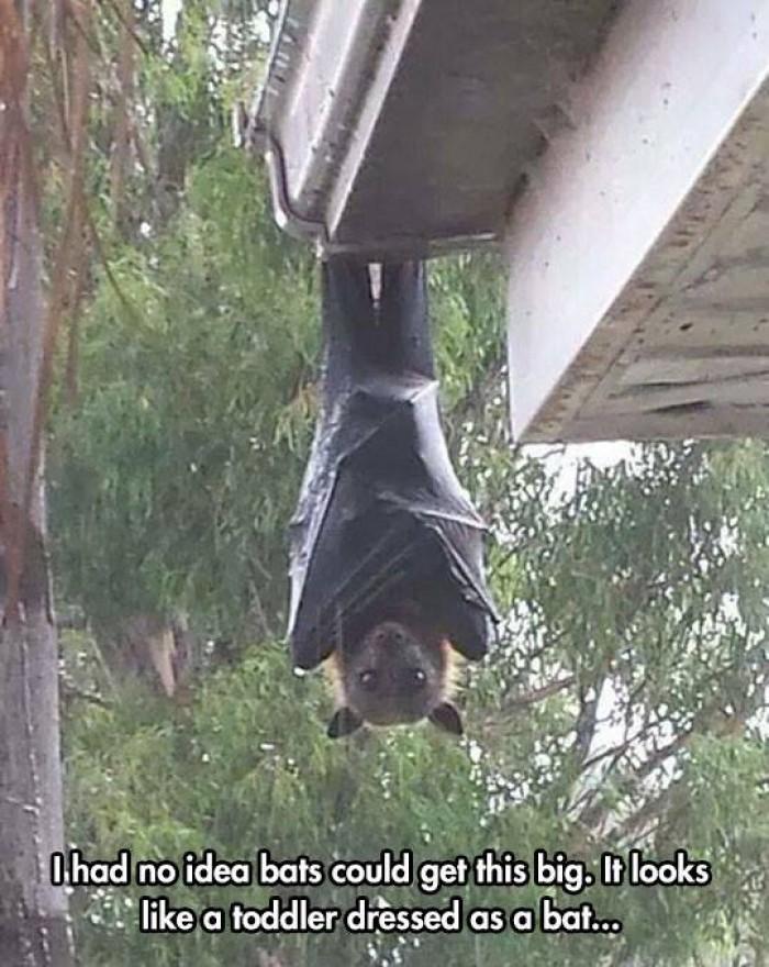 I had no idea bats could get this big.