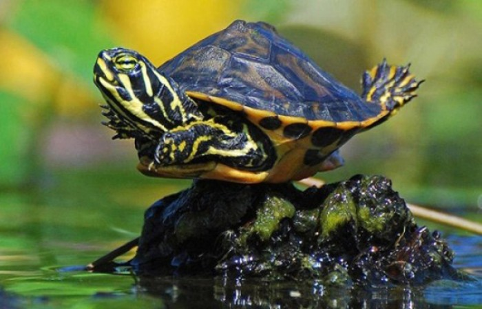 Turtle get stucked on the rock during the decreased water level
