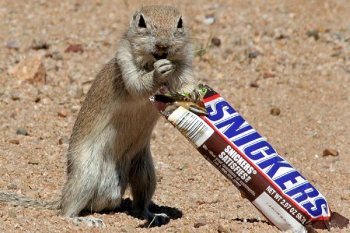 A hungry squirrel proves to be nuts about chocolate and steals a bar of snickers from right under...