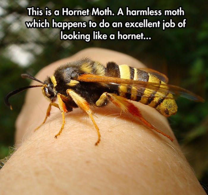 This is a Hornet Moth