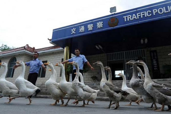 Police geese in China
