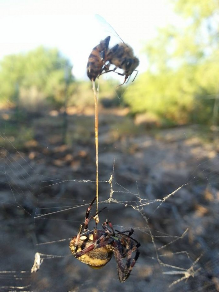 Spider Catches Bee, Bee Stings Spider