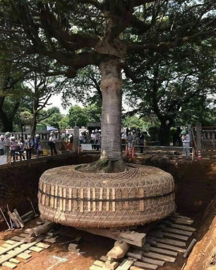 Removing Tree In Japan