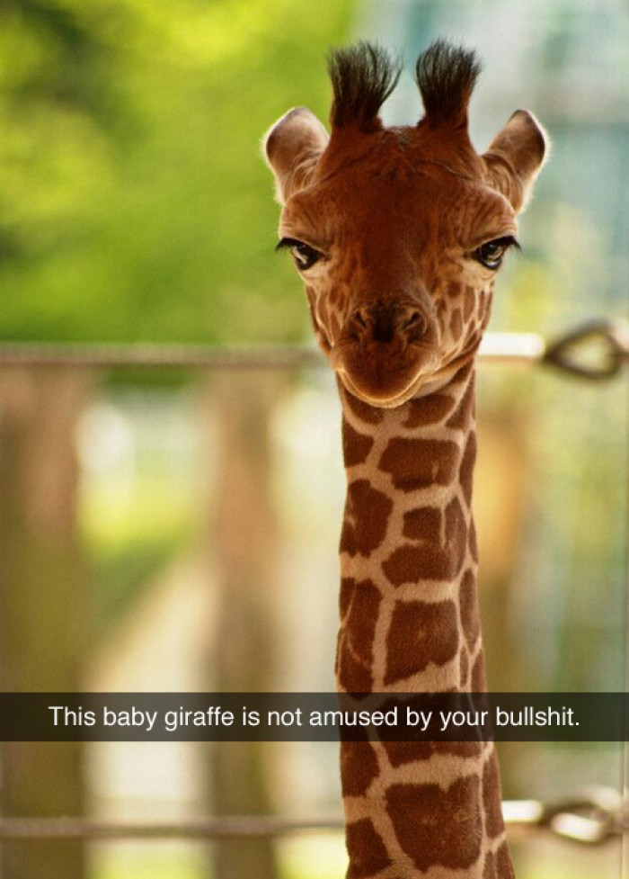 This giraffe is not amused by your bullshit