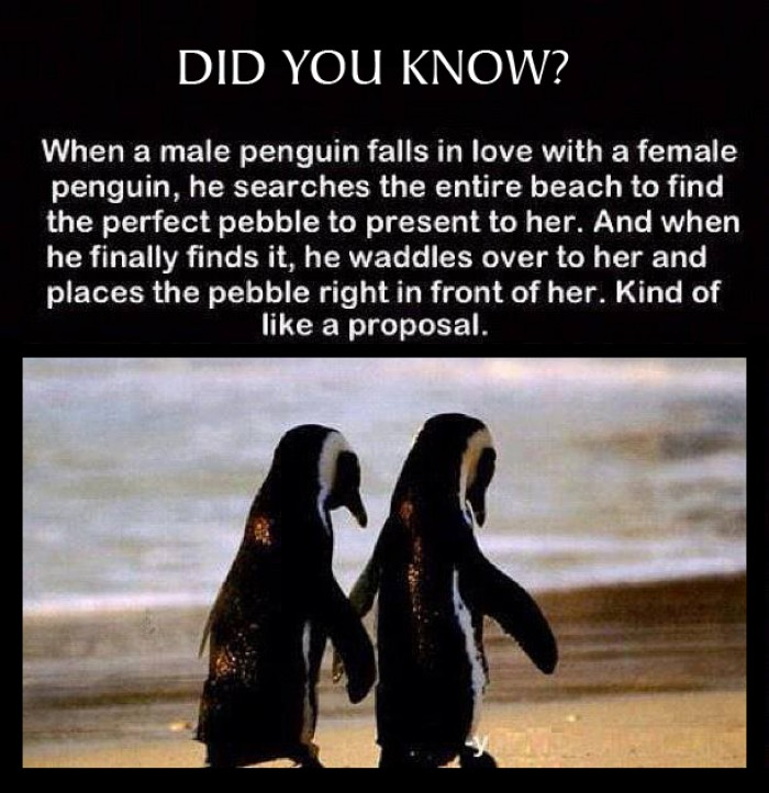 How penguins shows their love