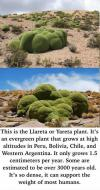 This is the Llareta or Yareta plant...